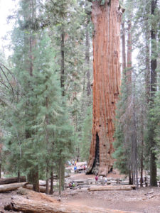 General Sherman, the world's largest tree by volume (Photo: Brad Lyons)