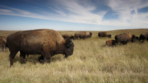 Bison, Theodore Roosevelt National Park (NPS Photo)