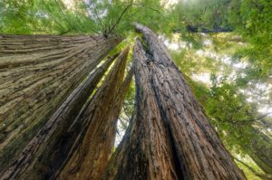 Coast redwoods (Sequoia sempervirens), Redwood National & State Park. California. NPS Photo