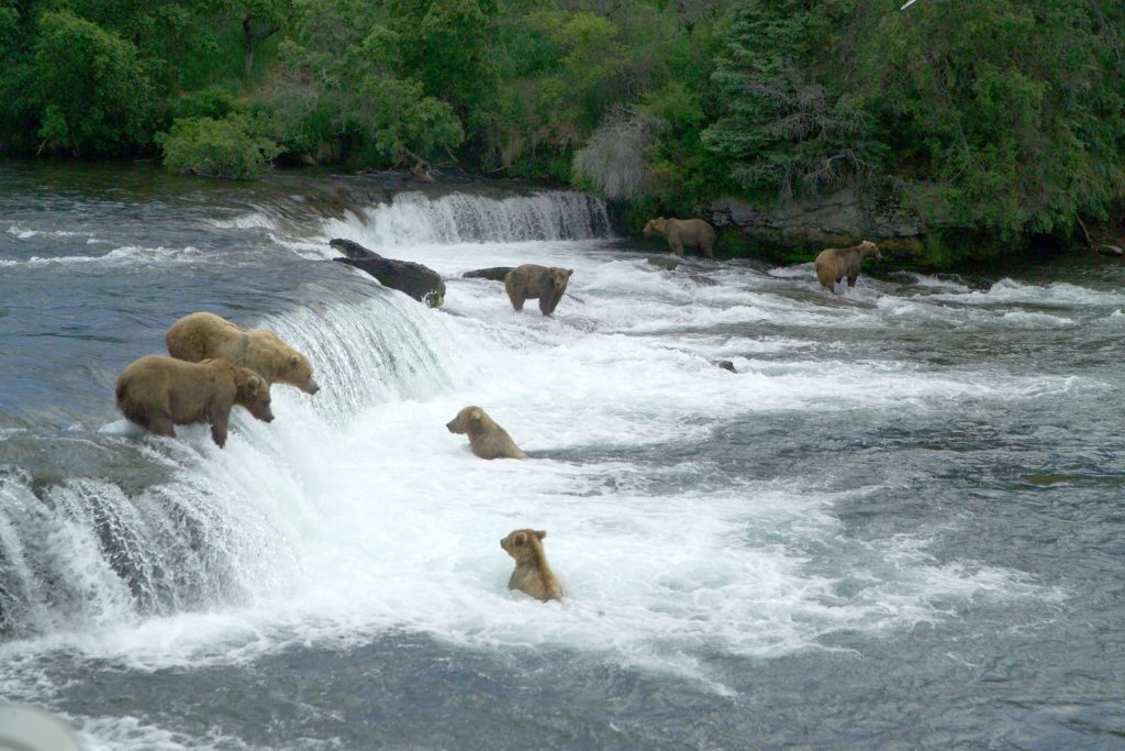 Grizzlies fish at Brooks Falls, Katmai National Park and Preserve