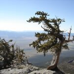 Bristlecone pine, Great Basin National Park (NPS photo)
