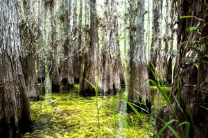 An Everglades swamp