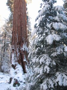 Snow on a sequoia and evergreen
